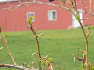 Spring just belongs on the farm...(c)Gracie K. Harold 2017
